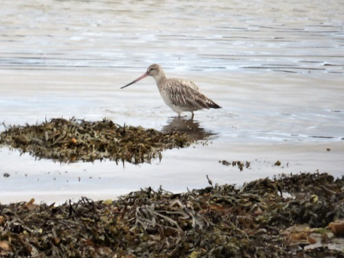 Bar-tail Godwit