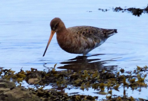 Black-tailed Godwit another one