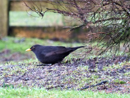 Blackbird in our garden