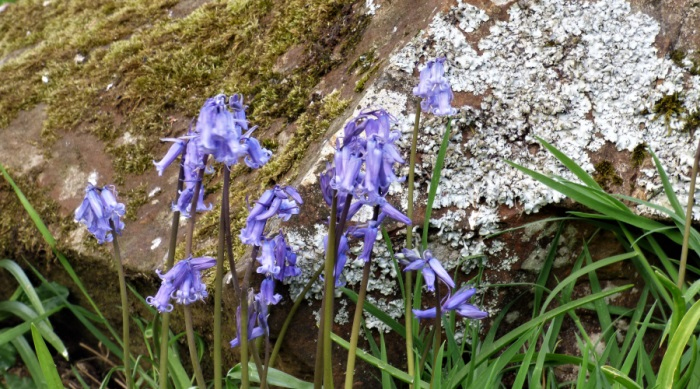 Bluebells and lichen in our garden