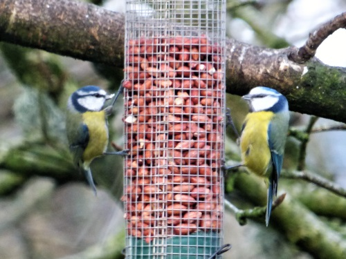 Bluetit on feeder