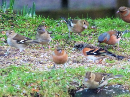 Brambling and Chaffinches Ardrioch