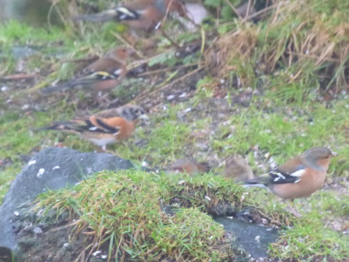 Brambling photo