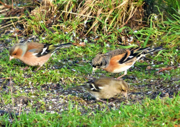Brambling still here