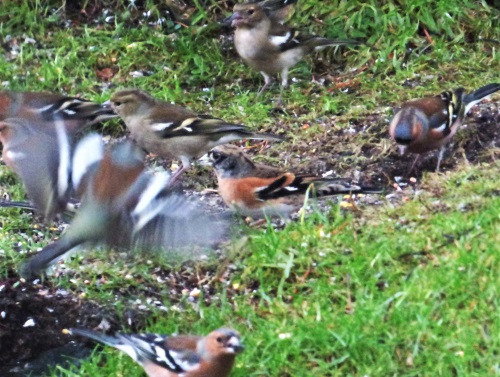 Brambling with Chaffinches