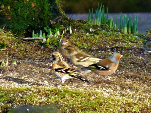 Brambling with Chaffinch