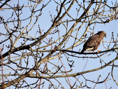 Buzzard on tree in our garden
