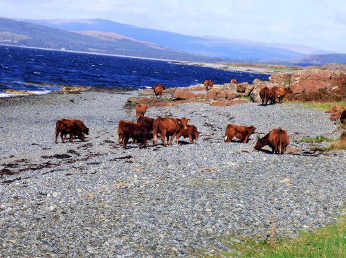 Cattle on shingle north shore Loch na Keal