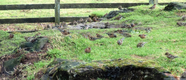 Chaffinches in the garden