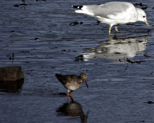Common Gull and Redshank