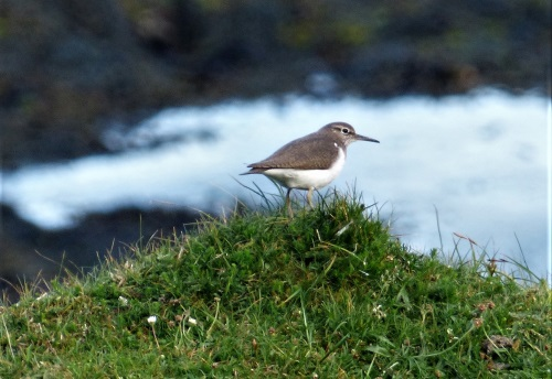 Common Sandpiper Calgary