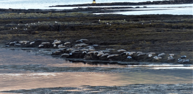 Common seals Loch Scridain skerries