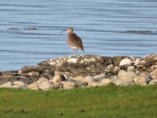 Curlew Loch na Keal