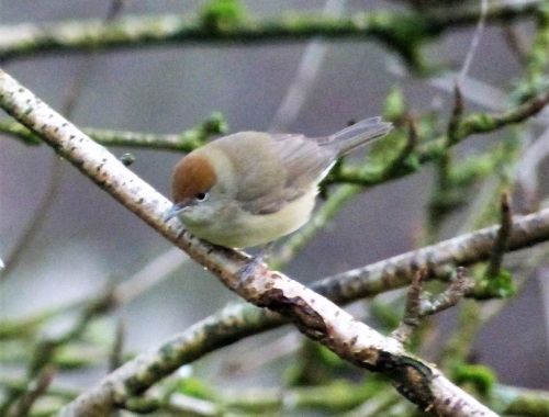 Female Blackcap in garden