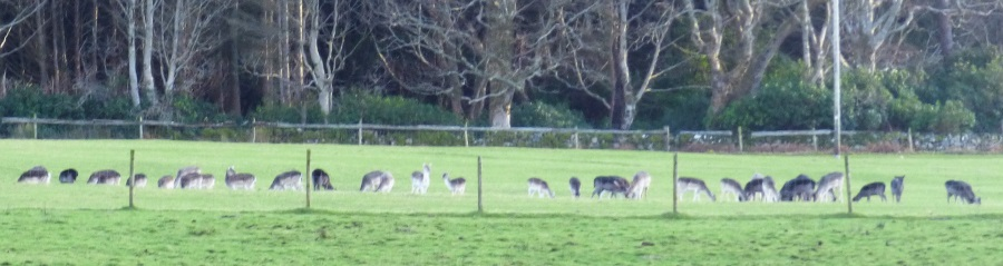 Field of Fallow Deer