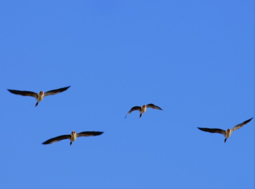 Flying Greylags Ardalanish
