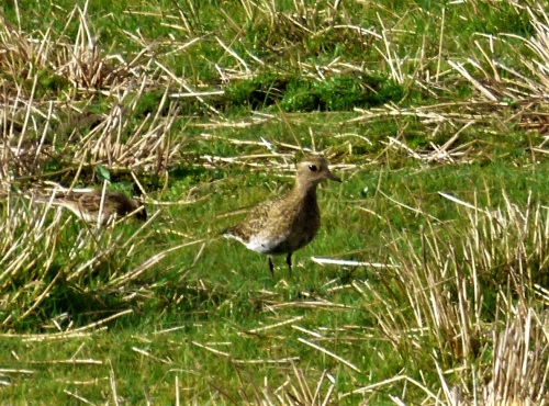 Golden Plover Loch Harrison