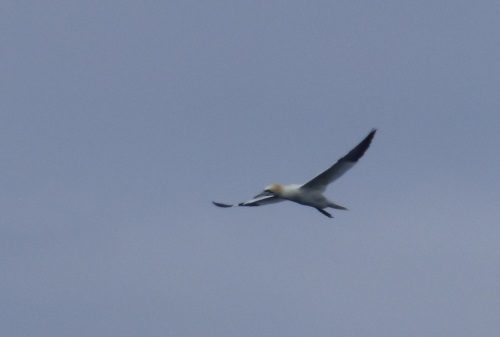 Gone fishing gannet