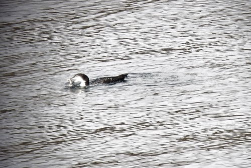 Great Northern Diver with fish Calgary