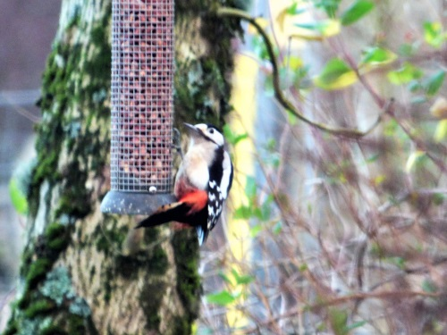 Great spotted Woodpecker at Ardrioch