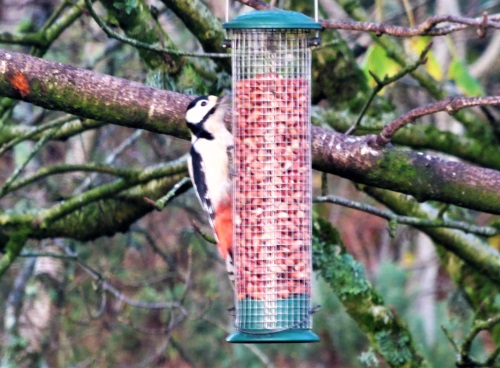Great Spotted Woodpecker on peanut feeder