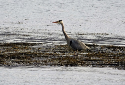 Grey Heron at Killiechronan