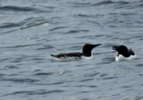 Guillemot with Razorbill