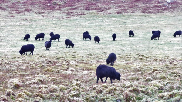 Hebridean sheep