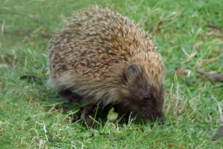 Hedgehog in the