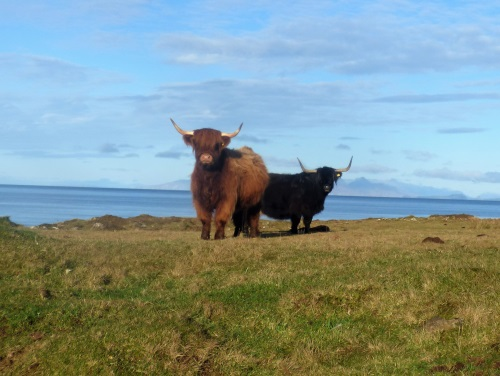 Highland Cows with Rhum in the background