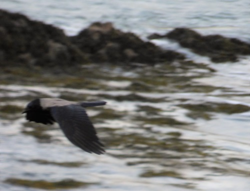 Hooded Crow flying