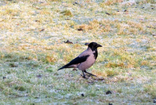 Hooded Crow in our field