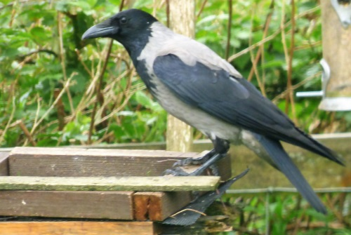 Hooded Crow on peanut table
