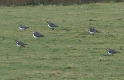 Lapwing at Ulva Ferry