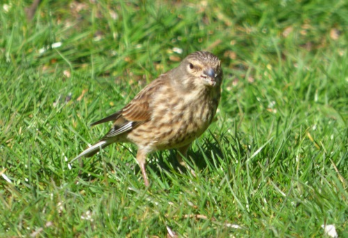 Linnet female in our garden