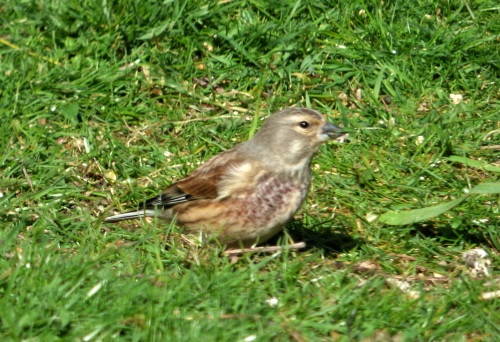 Linnet male in our garden