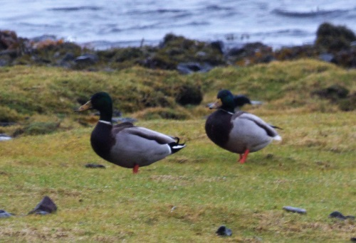 Mallards at Lagganulva