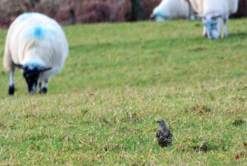 Mistle Thrush with sheep
