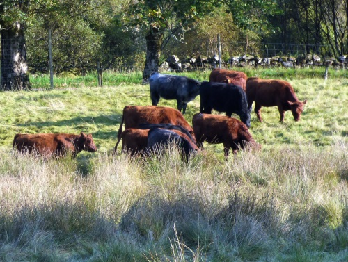 Neighbours cattle in our field
