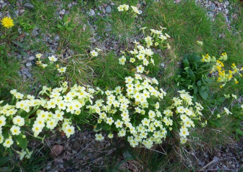 Primroses and Cowslips