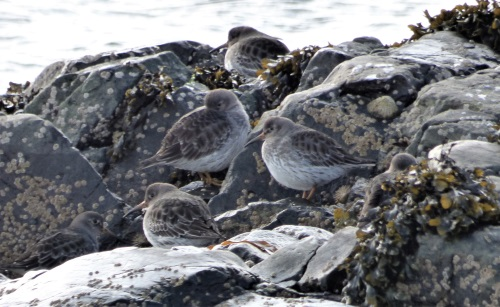 Purple Sandpiper Port na Ba