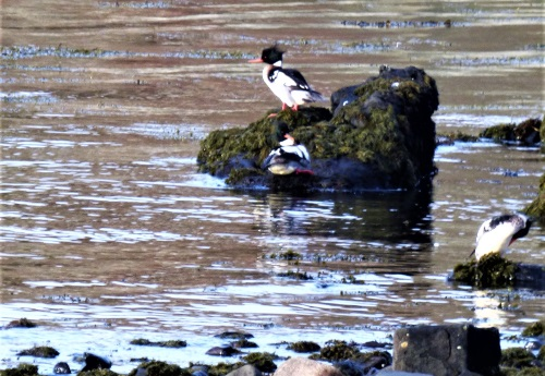 RB Mergansers on rock Lagganulva