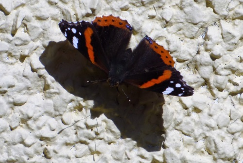Red Admirral Butterfly
