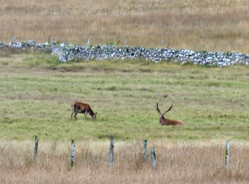 Red deer stag resting from rut