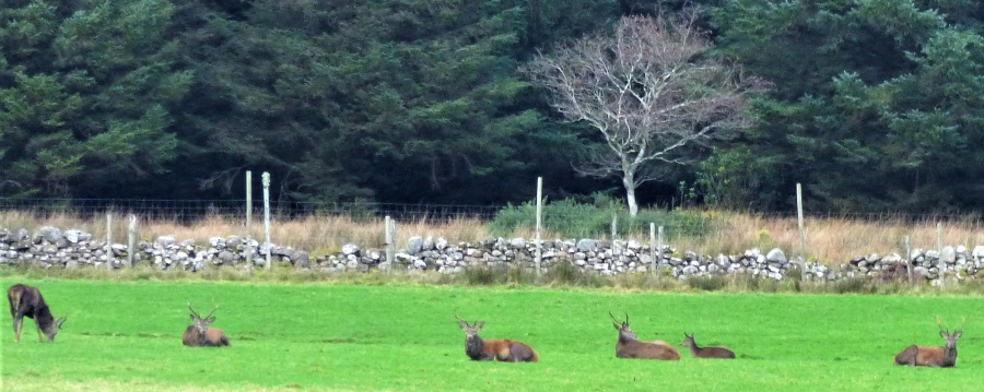 Red deer stags Killiechronan