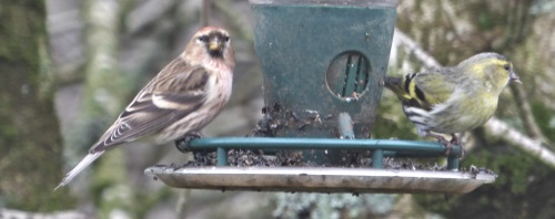 Redpoll and siskin on feeder