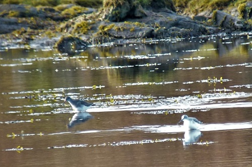 Redshank and Greenshank at Dervaig