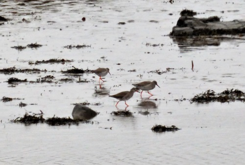 Redshanks Dervaig