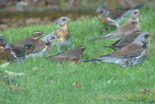 Redwing and Fieldfare flock