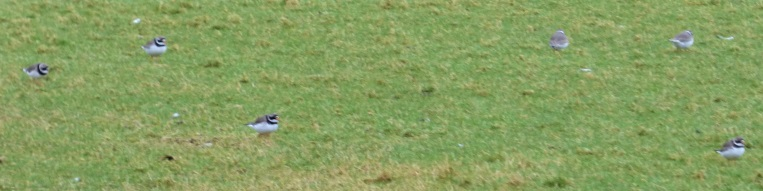 Ringed Plover Rugby pitch